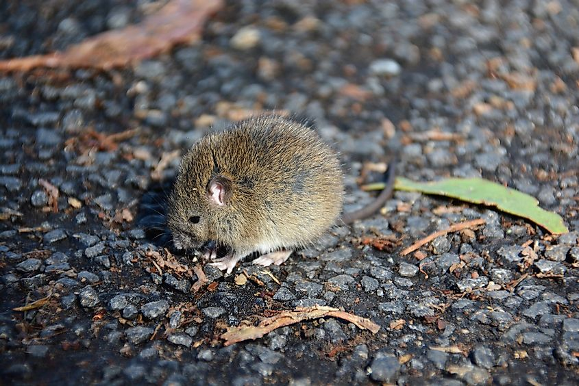 House mouse (Mus musculus) on Haleakala in Maui, Hawaii. Image credit: Amy Olson/Shutterstock.com