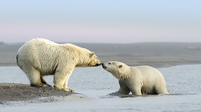 Mother Polar Bear and her cub rub noses near the village of Kaktovik in the Beaufort Sea off the north coast of Alaska. Polar Bears gather here in large numbers every fall. Image credit: Jeff Stamer/Shutterstock.com