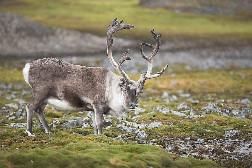 A reindeer in the tundra.