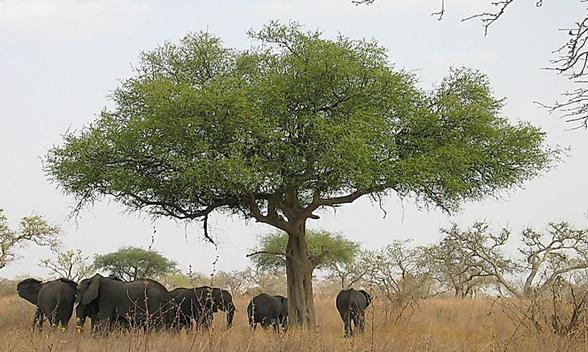 Elephants in savanna grasslands of Cameroon.