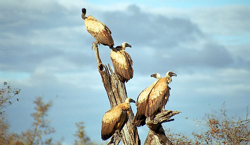 Vultures in South Africa.