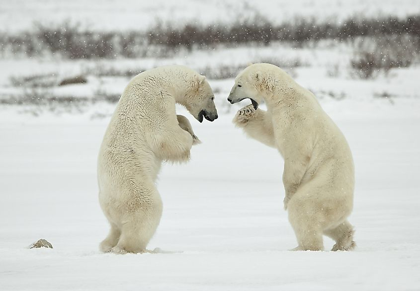 Polar bears in a fighting mode. Image credit: Sergey Uryadnikov/Shutterstock.com