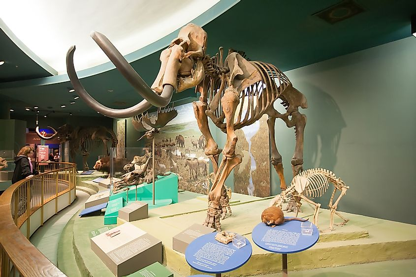 The skeleton of a mammoth in Natural History Museum