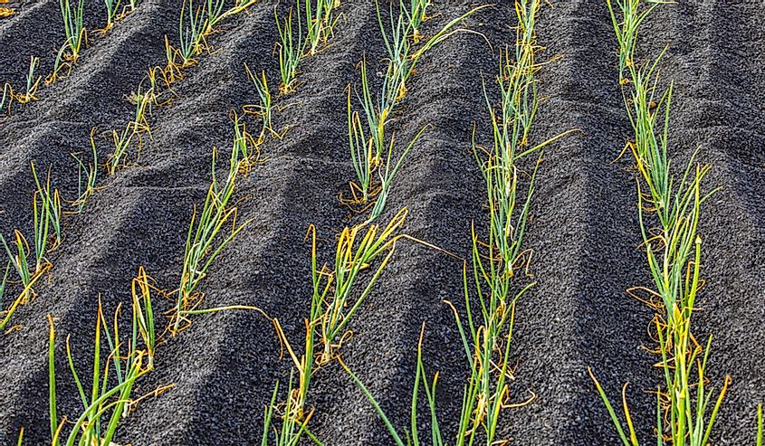 Onions growing in the volcanic soil of Lanzarote island, Canary Islands, Spain.