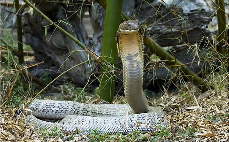 The King Cobra is the world's longest venomous snake.