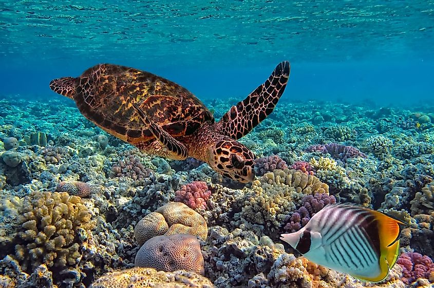 A hawksbill sea turtle swimming among the corals in the sea off the Hawaiian coast.
