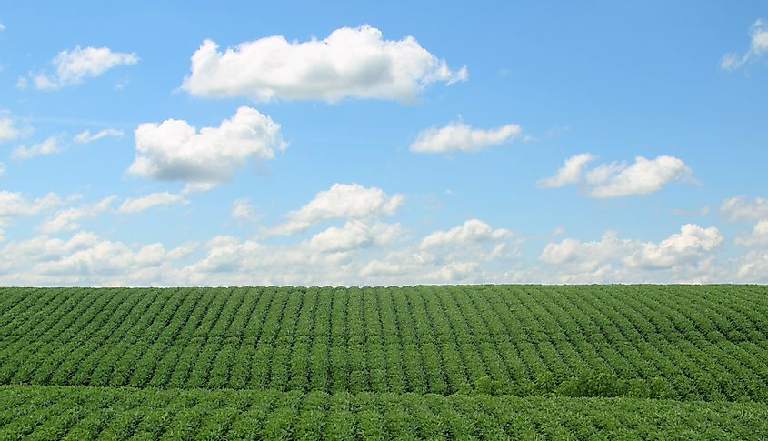A field of soybeans.