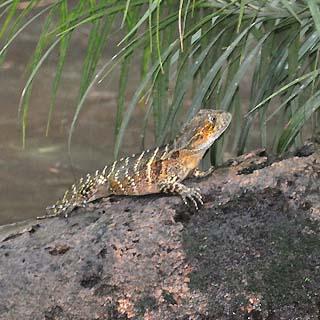 rainforest lizard