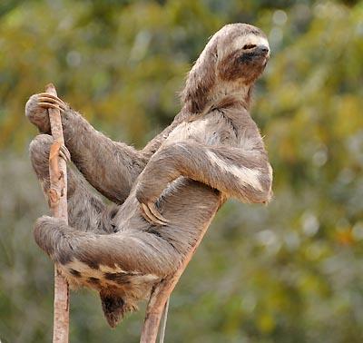 brazil, boca da valeria, amazon sloth