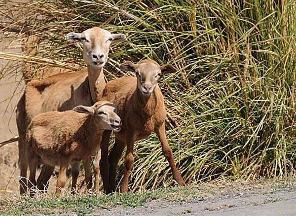 barbados, bridgetown, goats and sheep