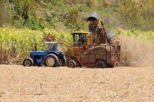 barbados, bridgetown, sugar cane harvesting