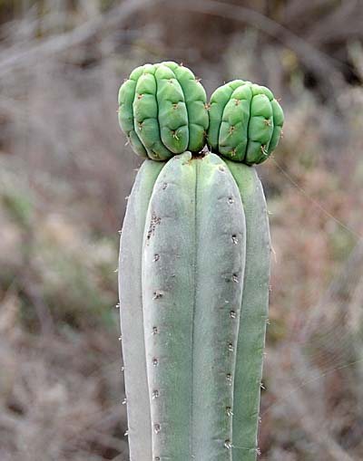 chile, coquimbo, cacti