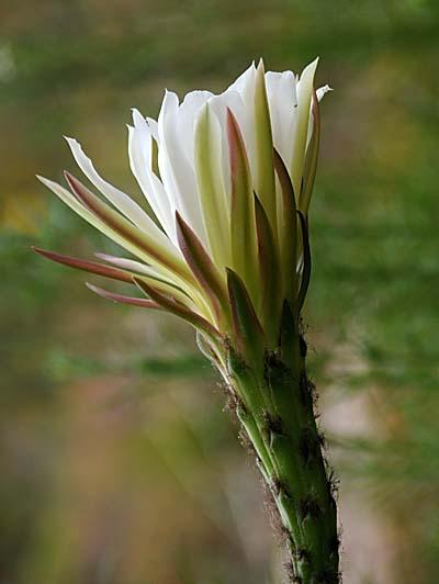 chile, coquimbo, desert flowers