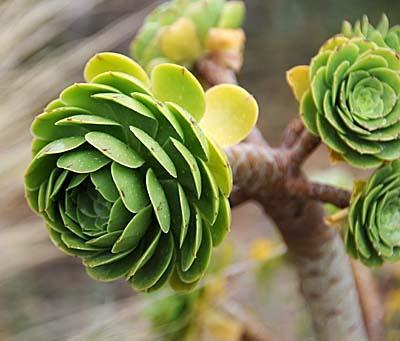 chile, coquimbo, desert plant life