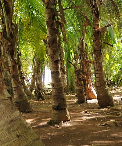 devils island, coconut palms