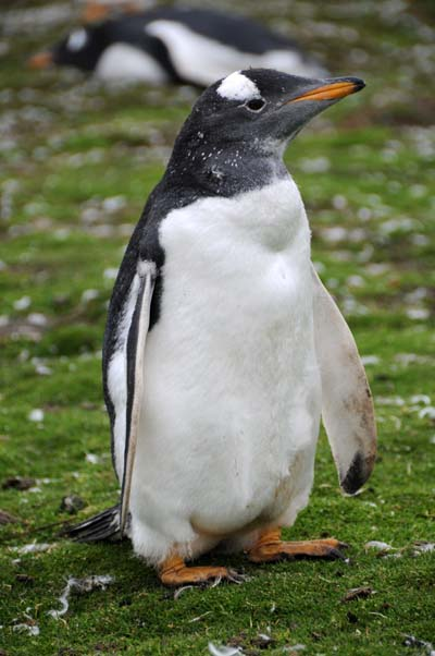 falkland islands, gentoo penguins