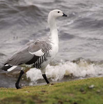 falkland islands upland geese