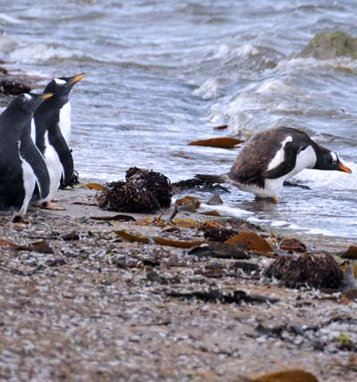 beach gentoo chicks