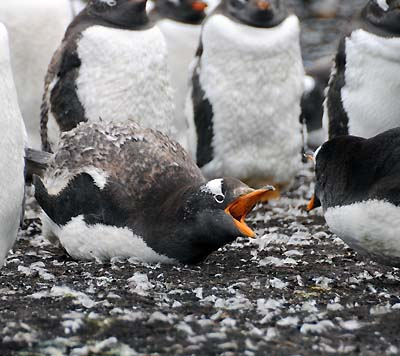 gentoo chicks squabbling