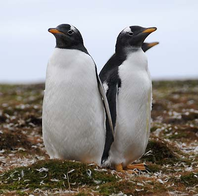 adult gentoo penguins