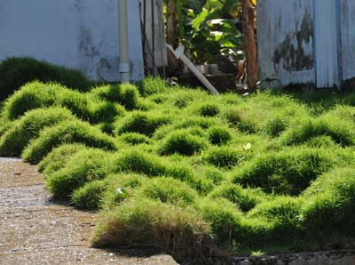 colombia, isla de providencia, ground cover