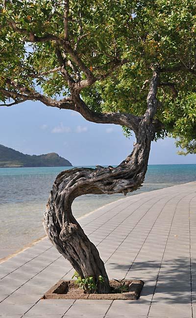 colombia, isla de providencia, sidewalk tree
