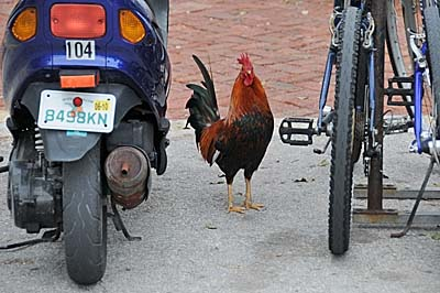 florida, key west, rooster