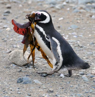 chile, magdalena island, penguin nest building