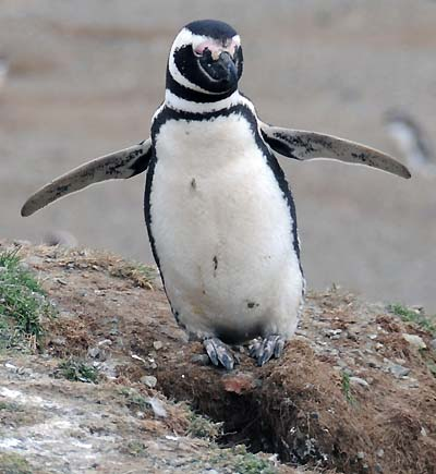 chile, magdalena island, penguin posing