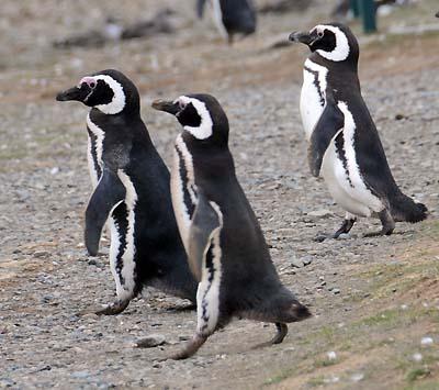 chile, magdalena island, penguins walking