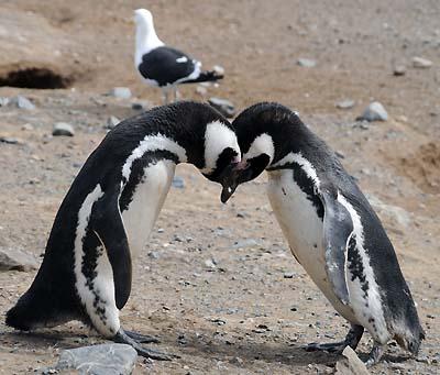 chile, magdalena island, penguins snuggling