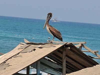 ecuador, manta, pelican