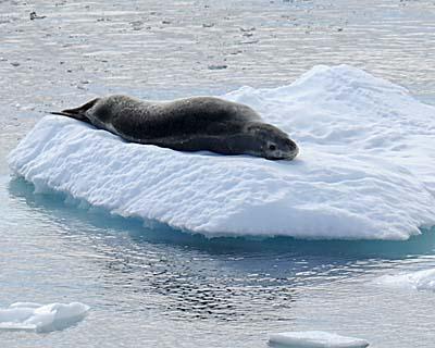 antarctica seals