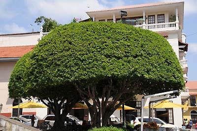 panama, panama city, ficus tree