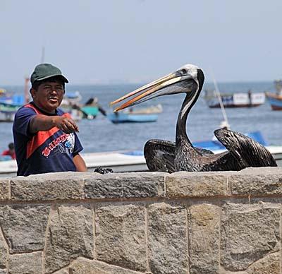 peru, paracas, pelican