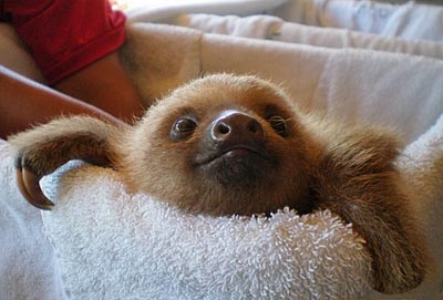 costa rica, puerto limon, baby sloth