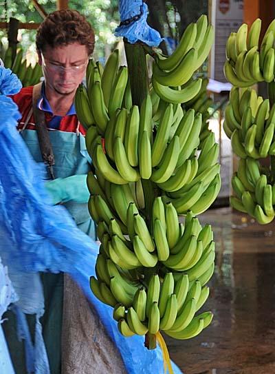 costa rica, puerto limon, bananas