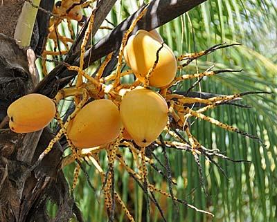 costa rica, puerto limon, coconuts