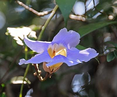 costa rica, puerto limon, purple flower
