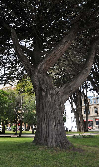 chile, punta arenas, trees