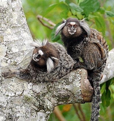 brazil, rio de janeiro, marmoset monkeys