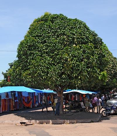 brazil, santarem, ficus trees
