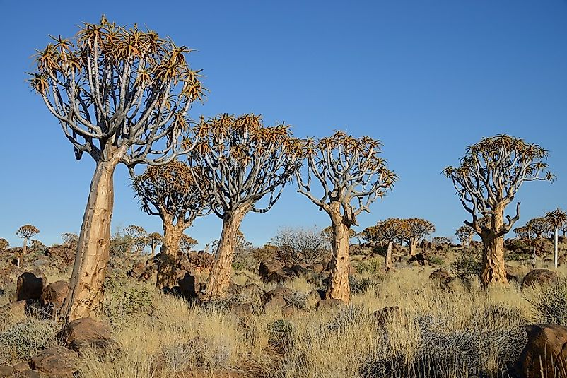 Some of the Quiver Tree Forest's unique Aloe trees near Keetmanshoop, Namibia.
