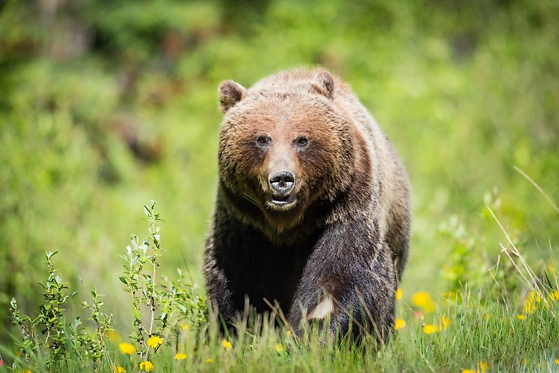 Although they may look friendly, grizzly bears have been known to make attack on humans.