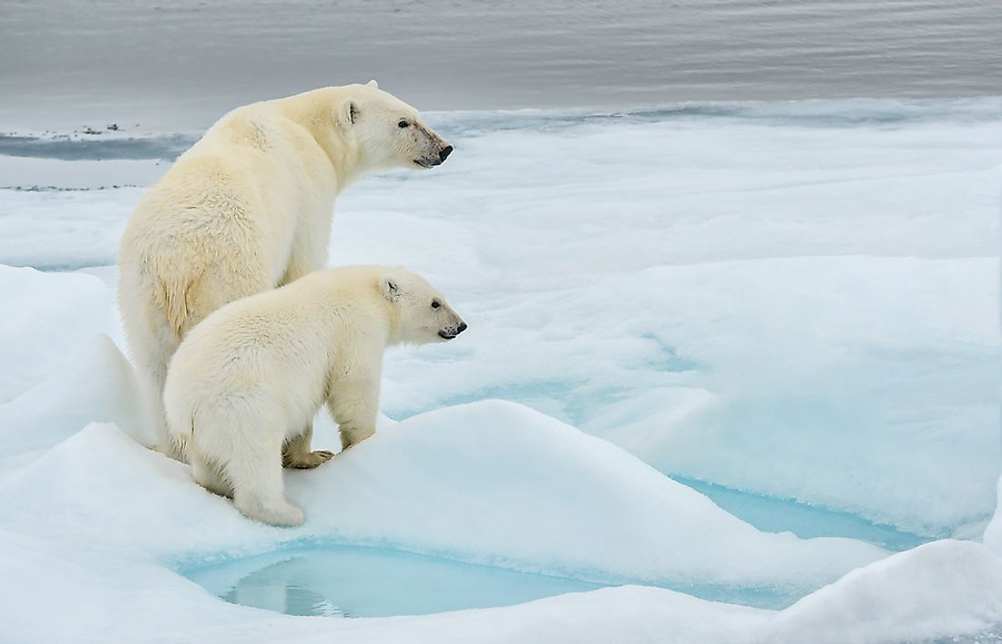 Polar bears prefer a cold climate.