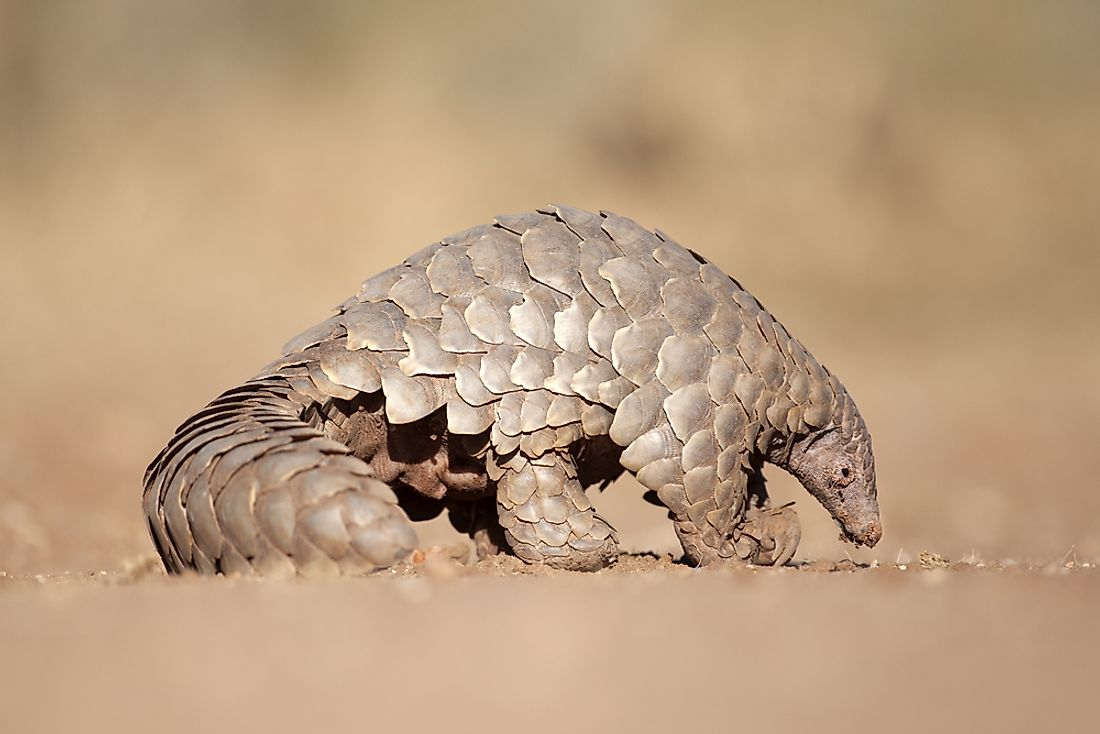 A pangolin searching for its dinner of ants.