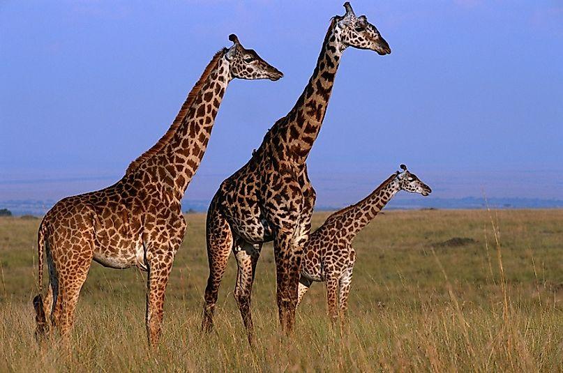 #10 Giraffe