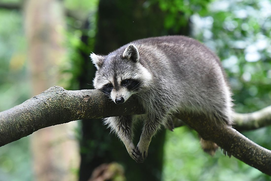 Animal Names That Start With R - WorldAtlas