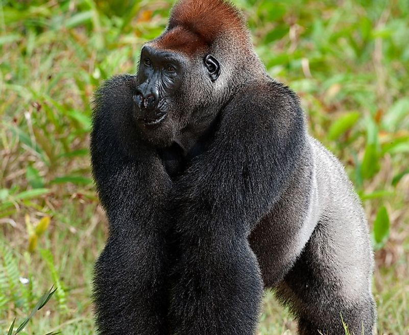 A Western lowland gorilla in the brush of the forest-savanna transition zone in the Democratic Republic of the Congo.