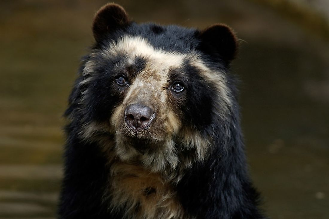 A close-up of the markings of an Andean (spectacled) bear.